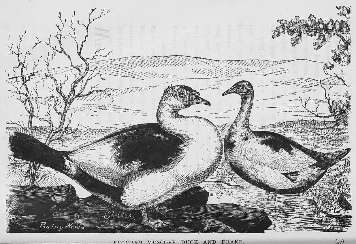 Swartzentrover com | Domestic Water Fowl - Chapter