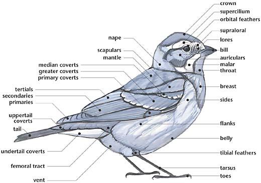 Bird Body Parts : Swartzentrover external anatomy of a bird