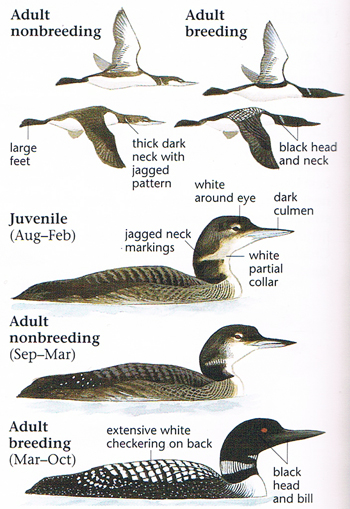 common loon in flight. Common Loon