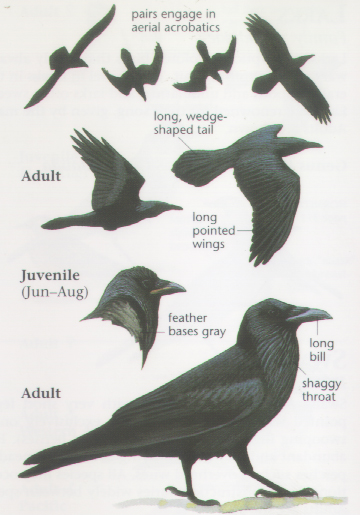 Anatomy of a crow