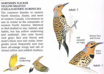 Yellow Shafted Flicker Woodpecker