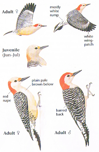red bellied woodpecker call 1