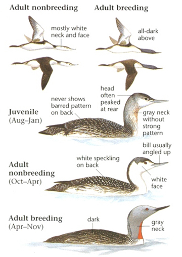 Red Throated Loon On Land Red-throated loon Red Throated Loon