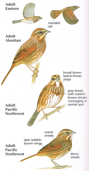 aluetian sparrow The song sparrow (melospiza melodia aleutian song sparrow aleutians from seguam island east to stepovak bay, alaska, and islands to the south of alaskan.