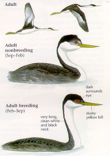 sibley bird guide western north america