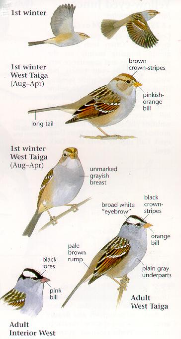 นกกระจอกหัวมงกุฏขาว White crowned sparrow