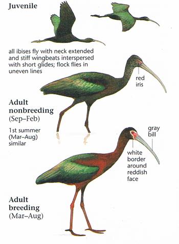 white faced ibis นกไอบิสหน้าขอบขาว