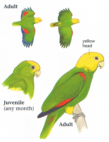 yellow headed parrot