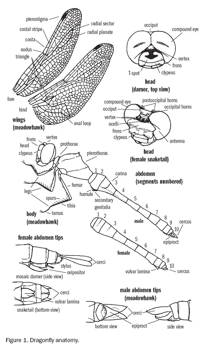 Dragonfly Anatomy