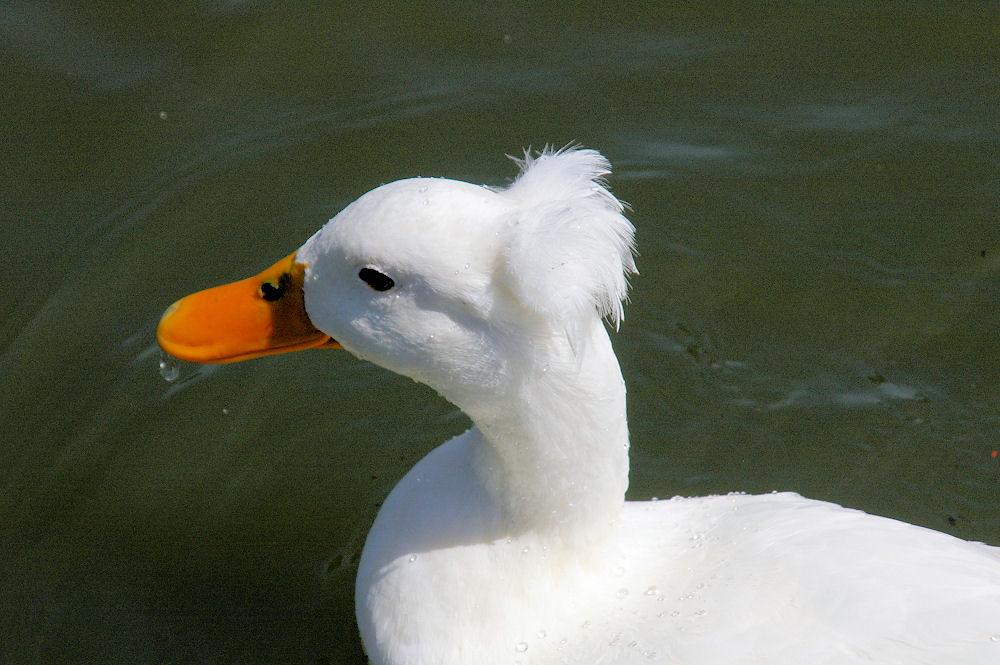 Crested Pekin duck  Pekin duck or Long Island duck