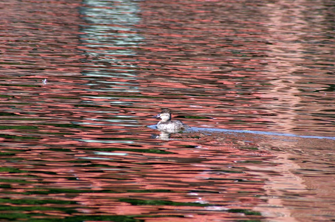 Ring Necked Gull