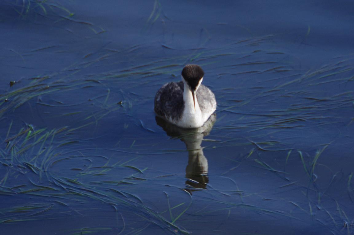 western grebe nonbreeding