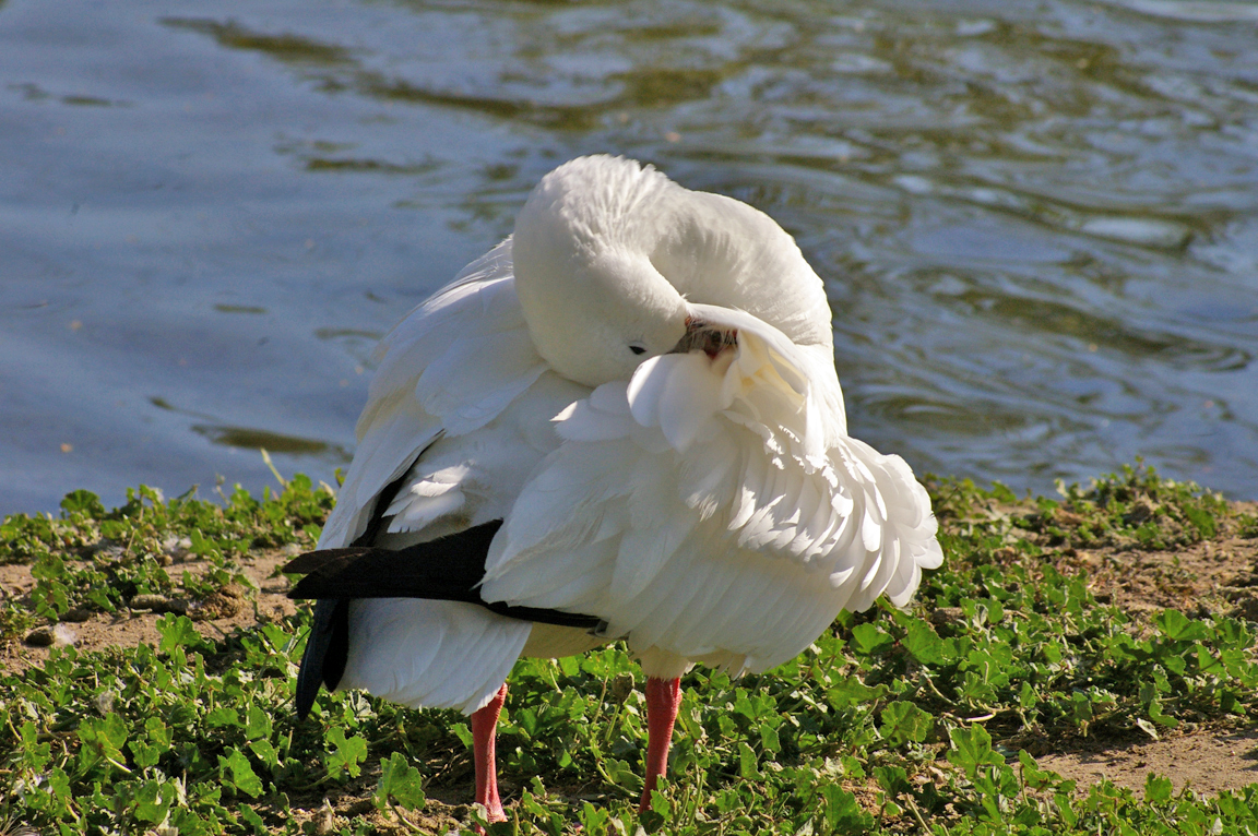 K Chen Emden ross 39 s goose