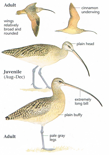 where does the long billed curlew diet